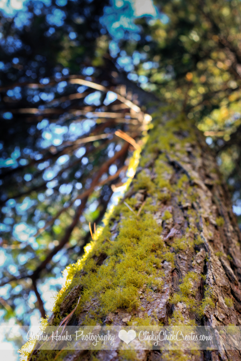 Connie Hanks Photography // ClickyChickCreates.com // beautiful moss covered pine tree in Shasta Forest