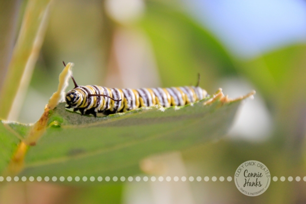 Connie Hanks Photography // ClickyChickCreates.com // caterpillars of Balboa Park