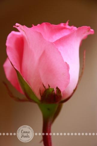 Connie Hanks Photography // ClickyChickCreates.com // single soft pink rose