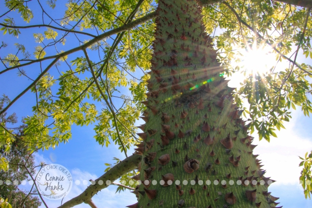 Connie Hanks Photography // ClickyChickCreates.com // Chasing Rainbows in Balboa Park cactus and rose gardens - natures colors in plants, landscapes, flowers, sky, bark, prickly tree, thorns, sunburst, sun flare,