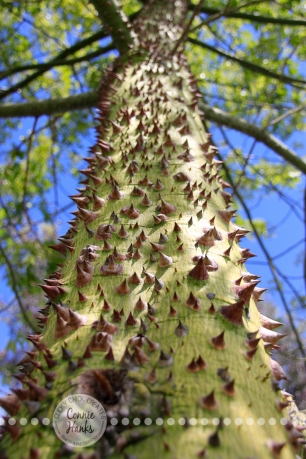 Connie Hanks Photography // ClickyChickCreates.com // Perspective - From Down Under - prickly, thorny tree in Balboa Park