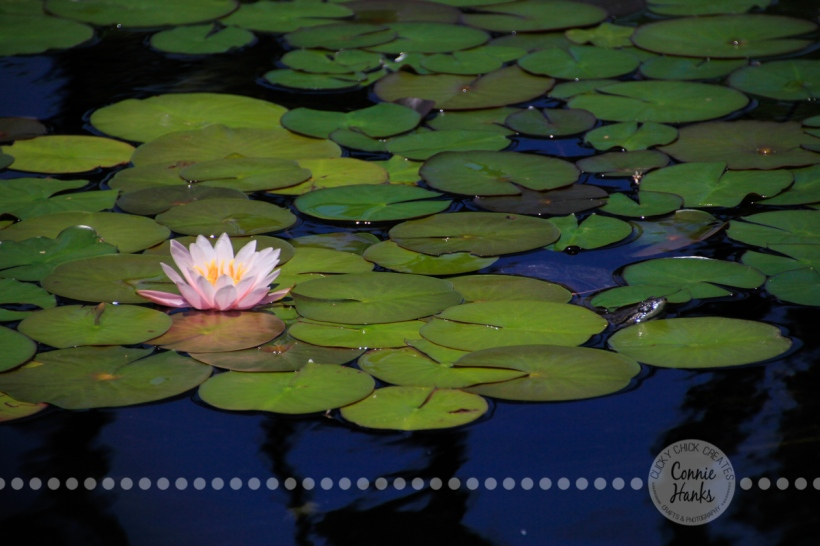 Connie Hanks Photography // ClickyChickCreates.com // Water Lily and Turtle in pond at Balboa Park