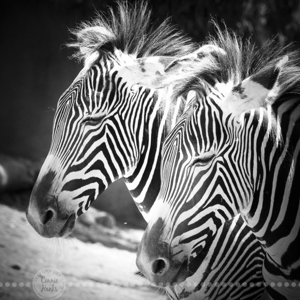 Connie Hanks Photography // ClickyChickCreates.com // double zebras, zig, zag, stripes, B&W,