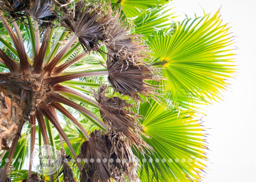 Connie Hanks Photography // ClickyChickCreates.com // Palm tree above, fanned out