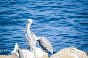 Connie Hanks Photography // ClickyChickCreates.com // La Jolla, beach, photography, San Diego, cove, morning, waves, crashing, pelican
