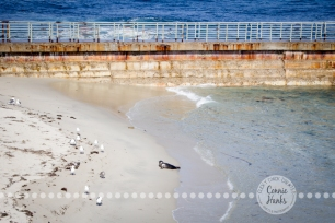 Connie Hanks Photography // ClickyChickCreates.com // La Jolla, beach, photography, San Diego, cove, morning, waves, crashing, seal