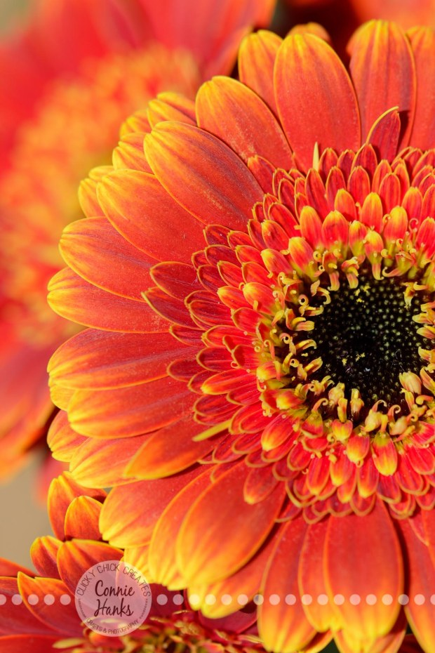 Connie Hanks Photography // ClickyChickCreates.com // macro flower shot, natural light, curves, petals, orange, yellow, gerbera daisy