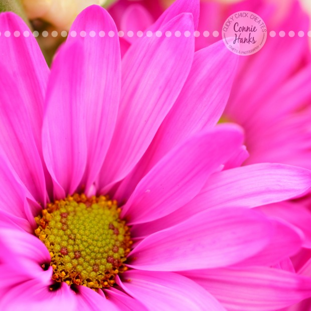 Connie Hanks Photography // ClickyChickCreates.com // macro flower shot, natural light, curves, petals, pink, gerbera daisy