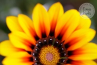Connie Hanks Photography // ClickyChickCreates.com // macro flower shot, natural light, curves, petals, orange, yellow, flower, wildflower