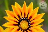 Connie Hanks Photography // ClickyChickCreates.com // macro flower shot, natural light, curves, petals, orange, yellow, flower, wildflower