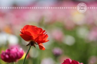 Connie Hanks Photography // ClickyChickCreates.com // macro flower photography