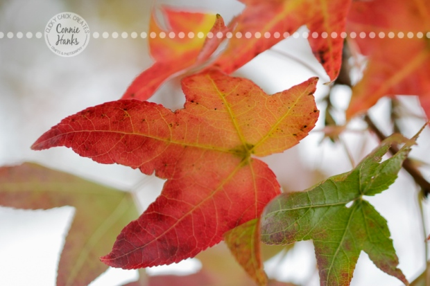Connie Hanks Photography // ClickyChickCreates.com // Fall Foliage in San Diego, leaves, autumn, colors, red, burnt orange, yellow, seasons, autumn, happy fall